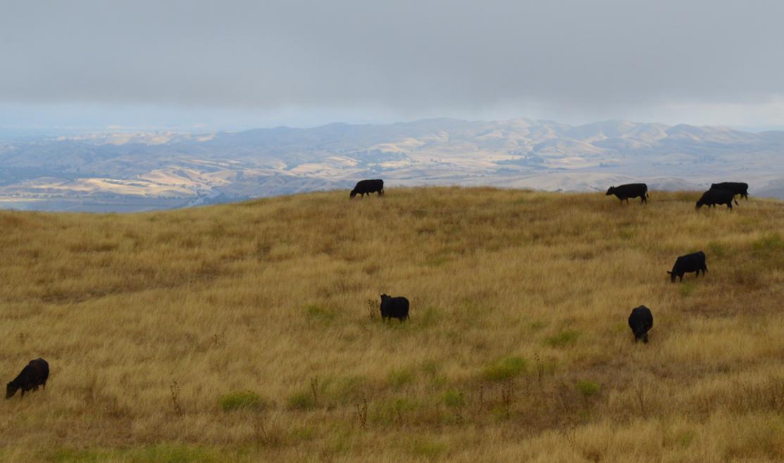 mission peak_cattles