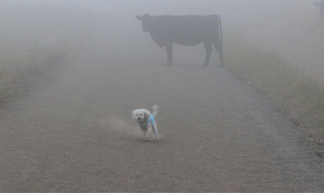 mission peak_dog and cattle