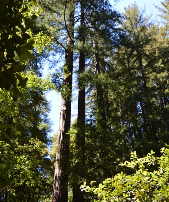 portola redwoords state park2