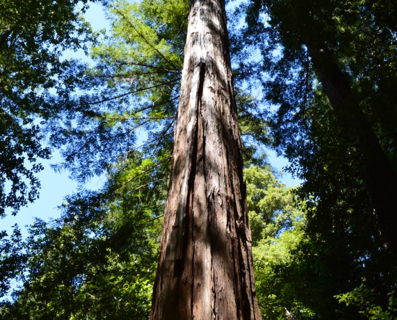 portola redwoords state park3