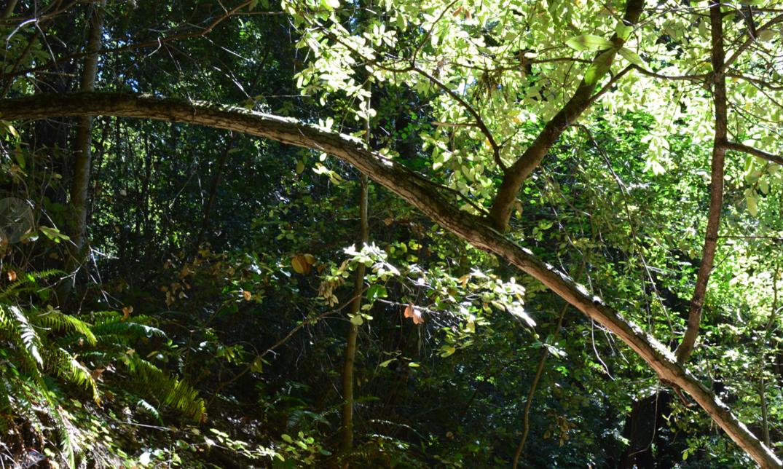 portola redwoords state park6