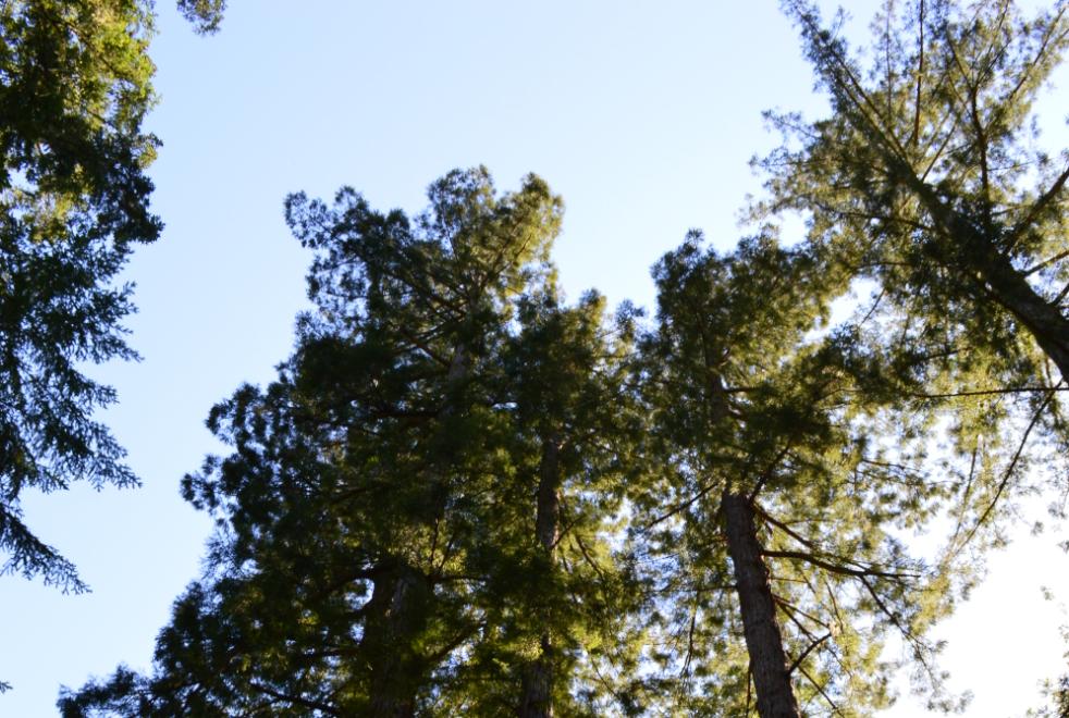 portola redwoords state park7