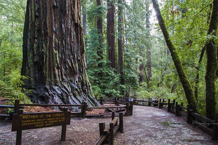 big basin redwoods sp_mother of the forest