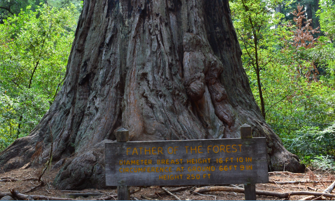 big basin state park_father of the forest