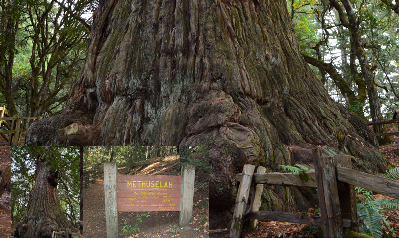 Methuselah tree skyline