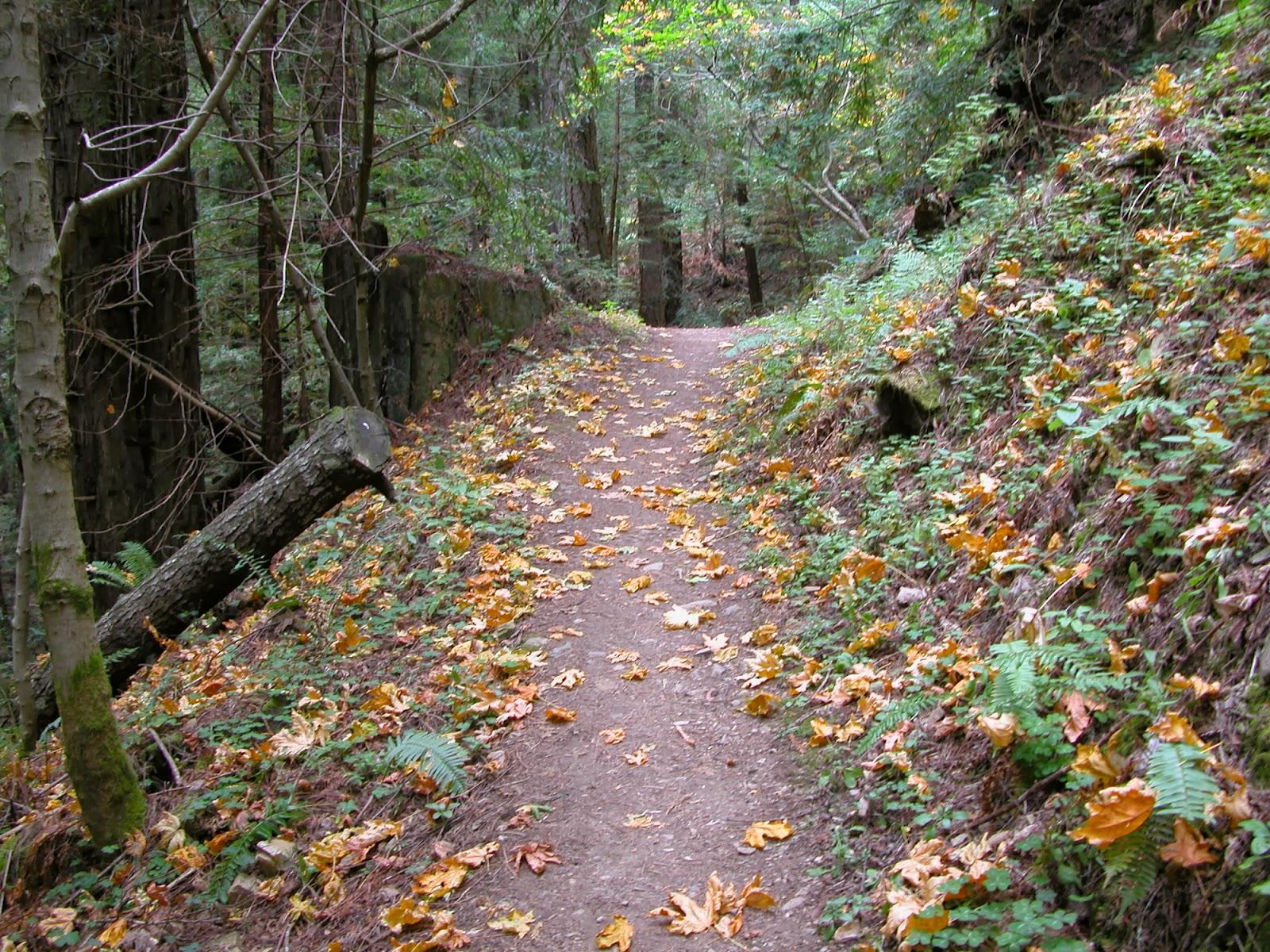 Purisima Creek Trail maple leaf