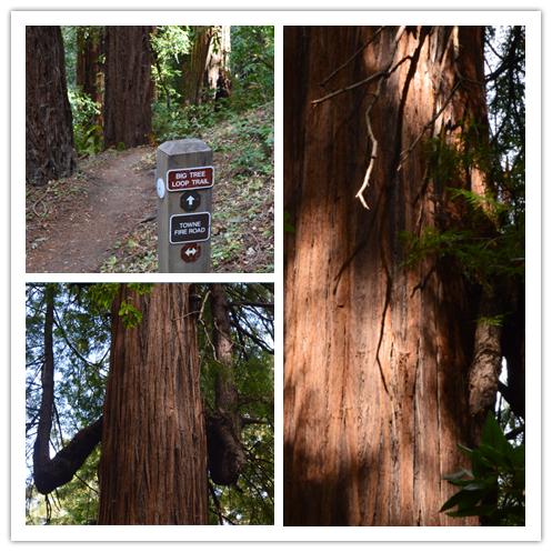 Sam McDonald Park_big tree loop2_0