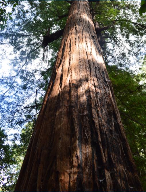 Sam McDonald Park_big tree loop4