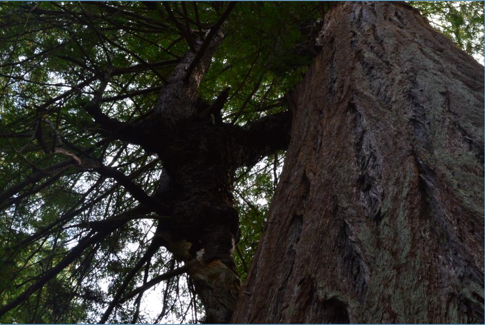 Sam McDonald Park_big tree loop5