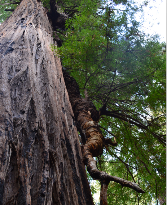 Sam McDonald Park_big tree loop6