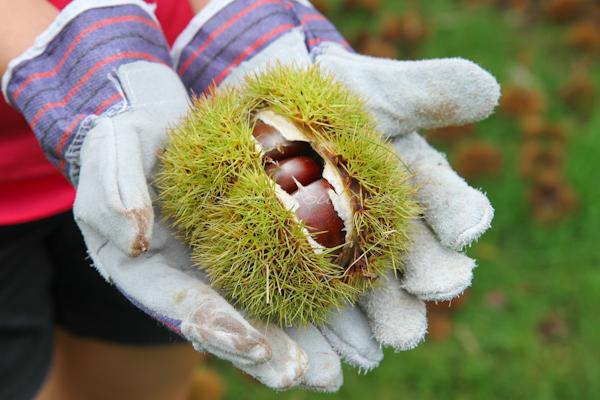 chestnut-picking-gloves